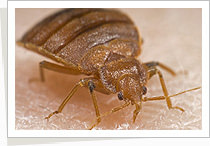 Pestman Bed Bug Management Service in Singapore