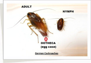 how to get rid of cockroach nymph