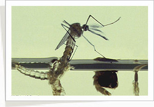Sample Image of Mosquito
