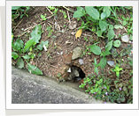 Singapore Rodent Image3
